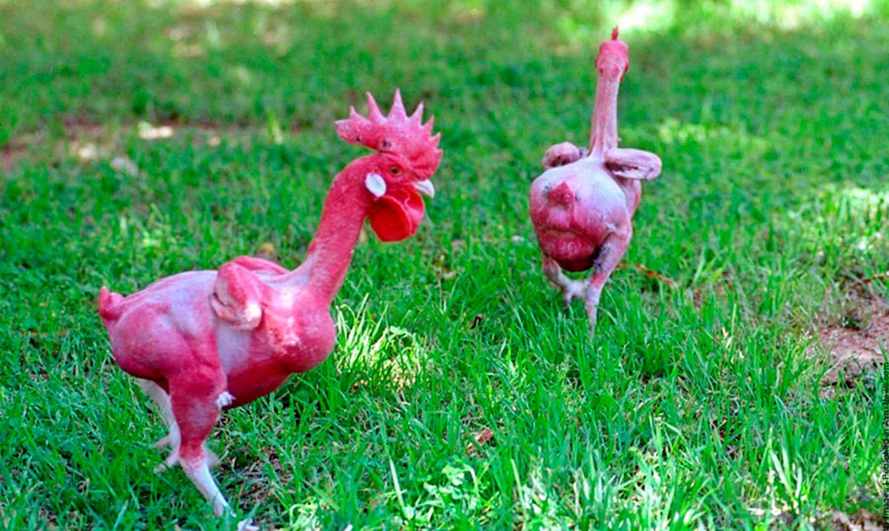 Los pollos sin plumas 'listos para cocinar'