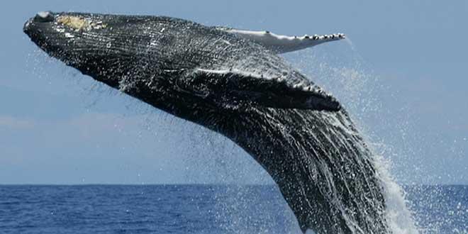 Ballena azul saltando