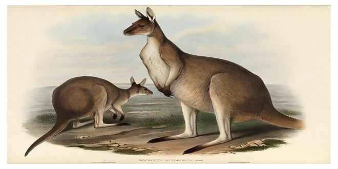 ¿Por qué existen canguros solo en Australia?