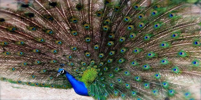 para qué sirven las plumas a las aves, pavo real