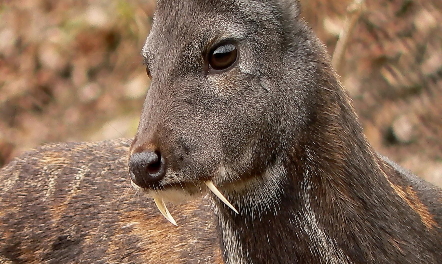 """El curioso """"ciervo vampiro"""" de Afganistán"""