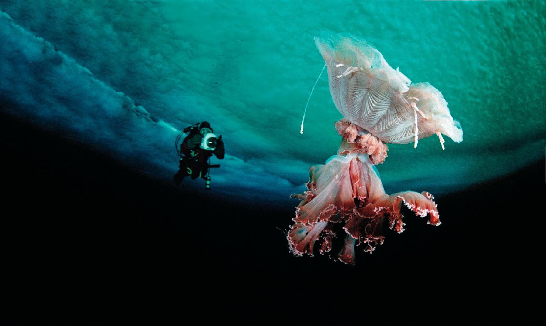 Un monstruo marino: la medusa cabeza de león