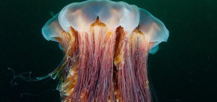 Medusa melena de león.