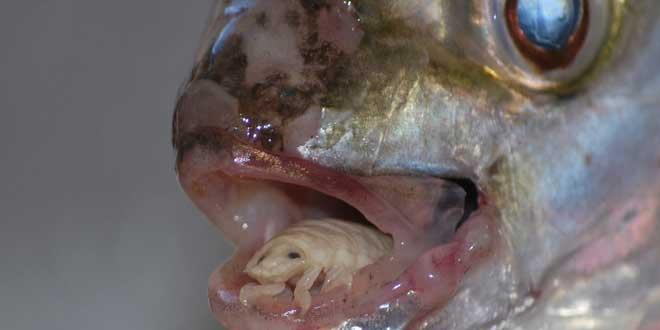 Cymothoa-exigua-parasito-lengua