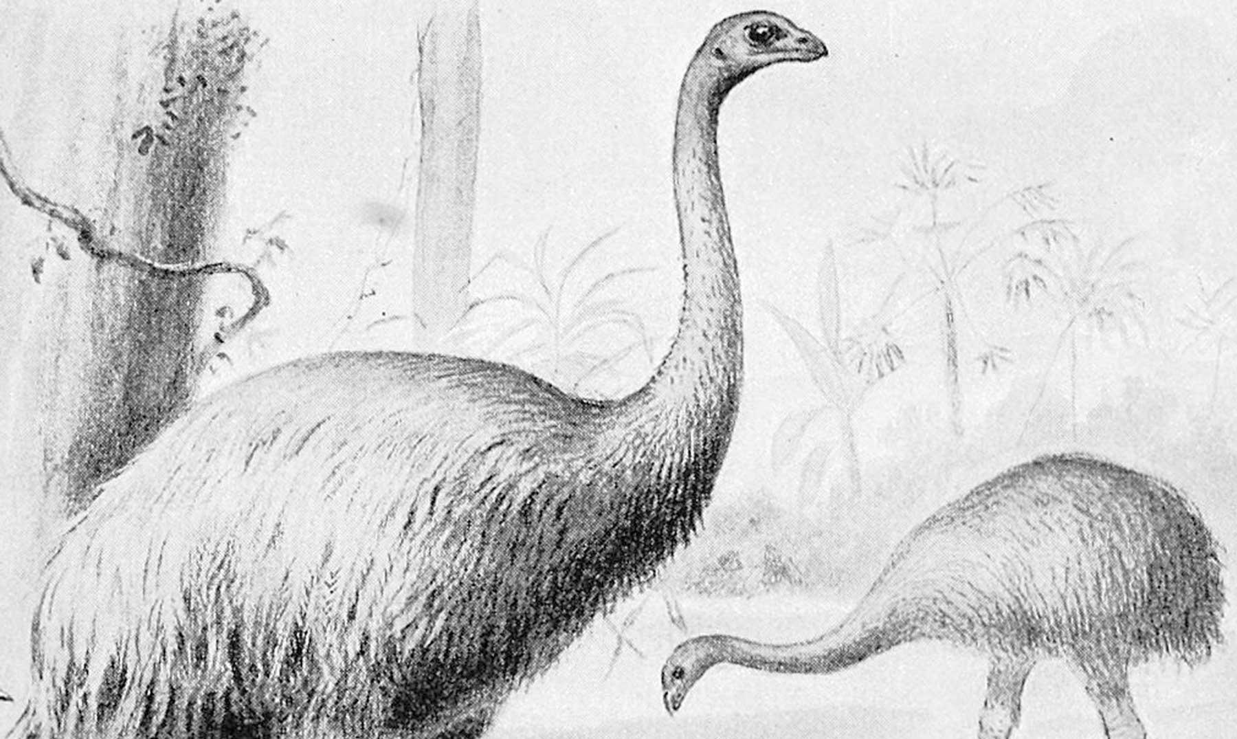 Moa, el ave gigante de Nueva Zelanda