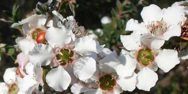 Árbol de té rosa