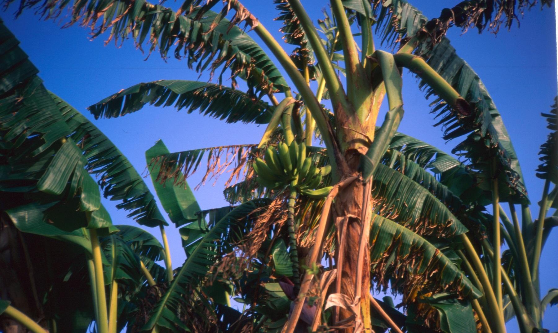 ¿Por qué las bananas crecen hacia arriba?