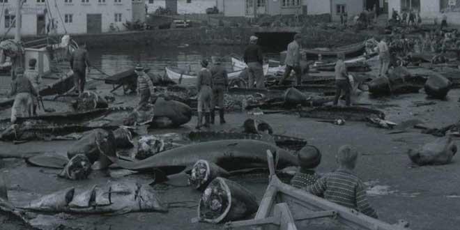 calderones muertos, 196, Islas Faroe