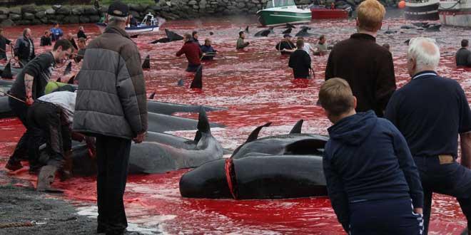 Matanza de ballenas en Islas Faroe