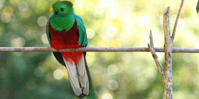 Ejemplar de quetzal