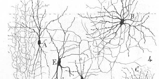 Detalle ilustración de la morfología neuronal del córtex (por Ramón y Cajal)