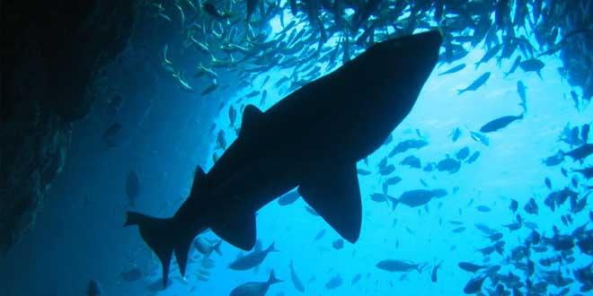 tiburón acechando