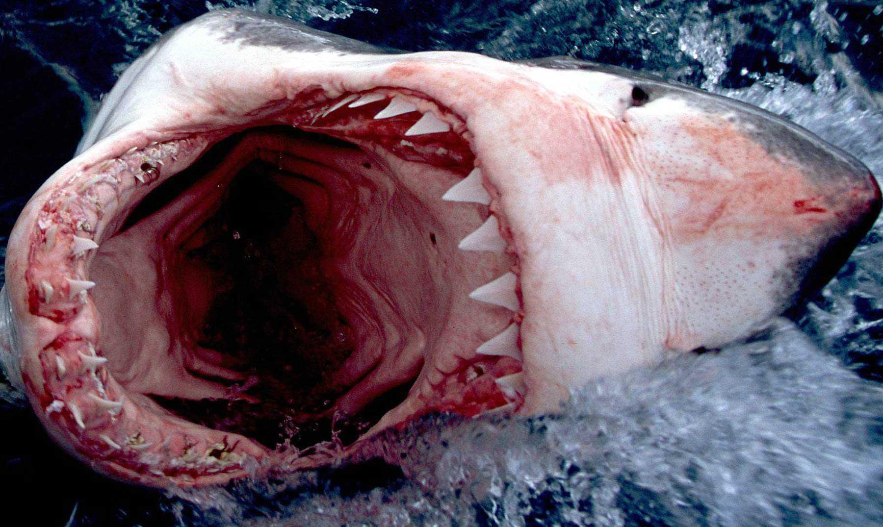 Tiburones: lo más extraño encontrado en su interior