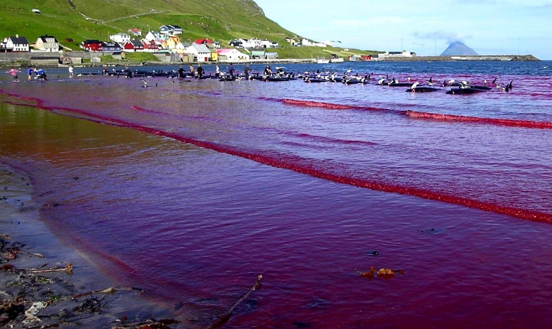 La sangrienta tradición de las Islas Feroe, una brutalidad contra los cetáceos