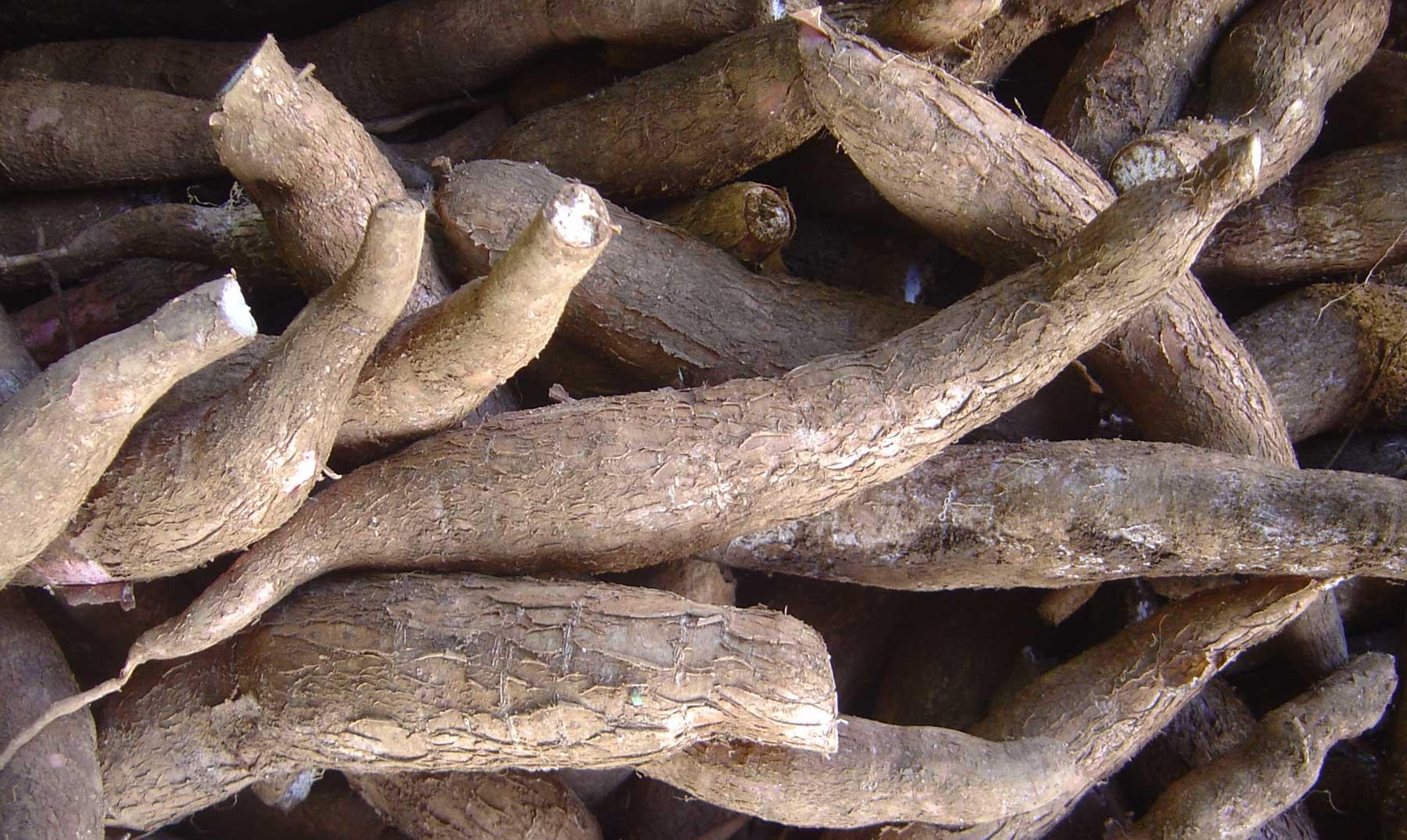 Una raíz para la vida: la yuca