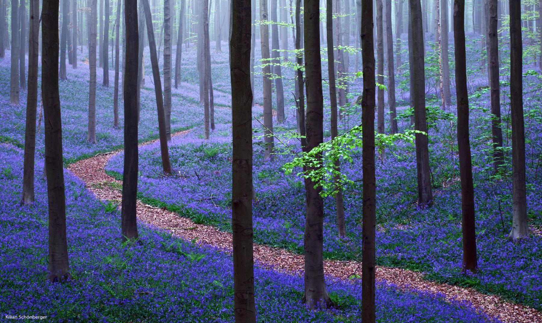 Hallerbos, el bosque más bonito del mundo