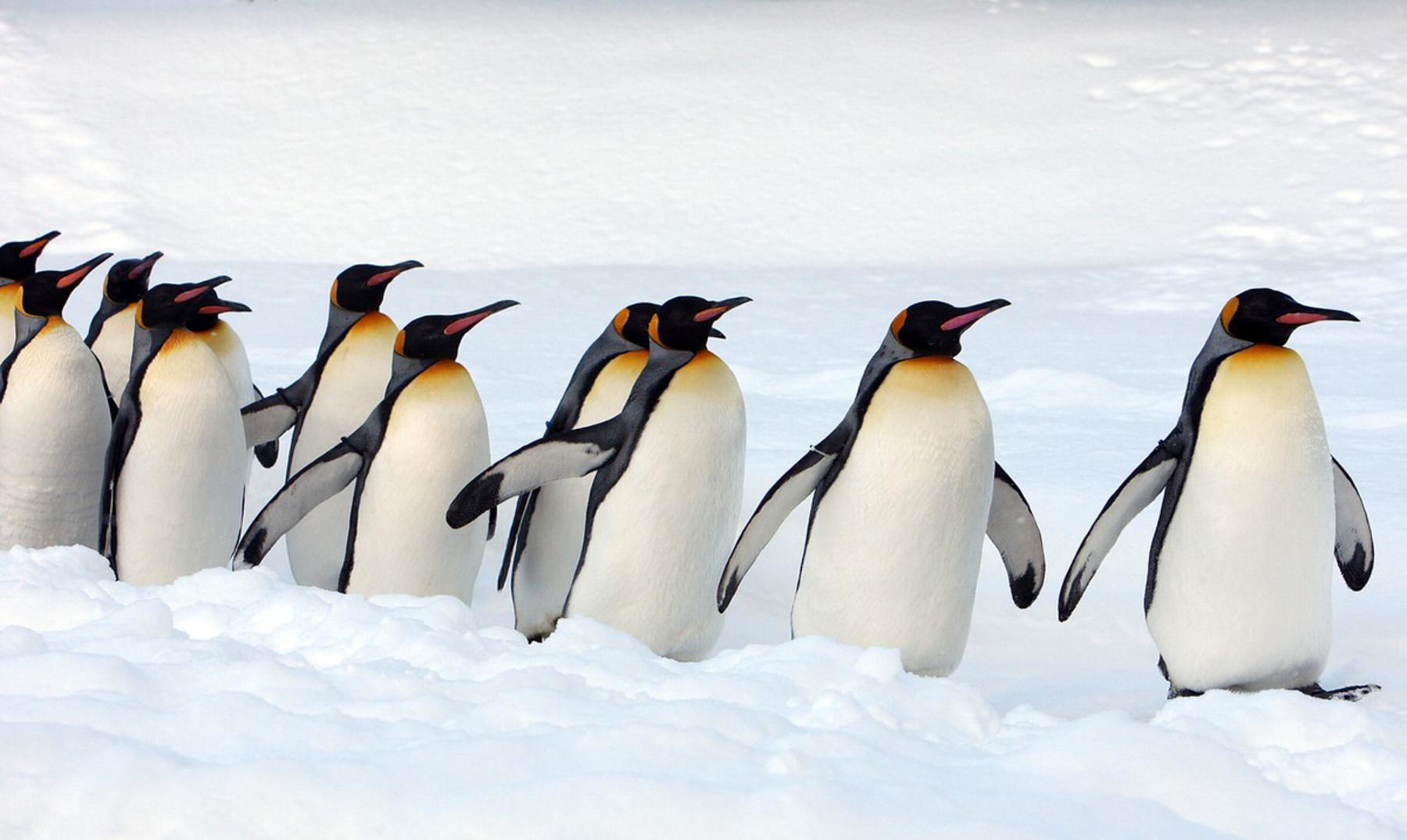 Pingüinos de dos metros ¿es posible?