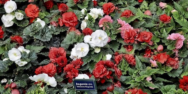Vivero con variedades de begonias rosadas, blancas y rojas