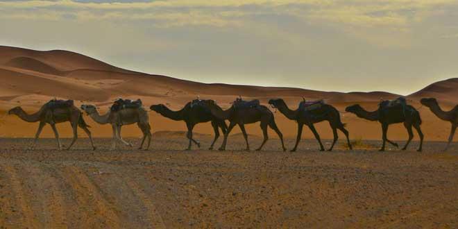 camellos desierto