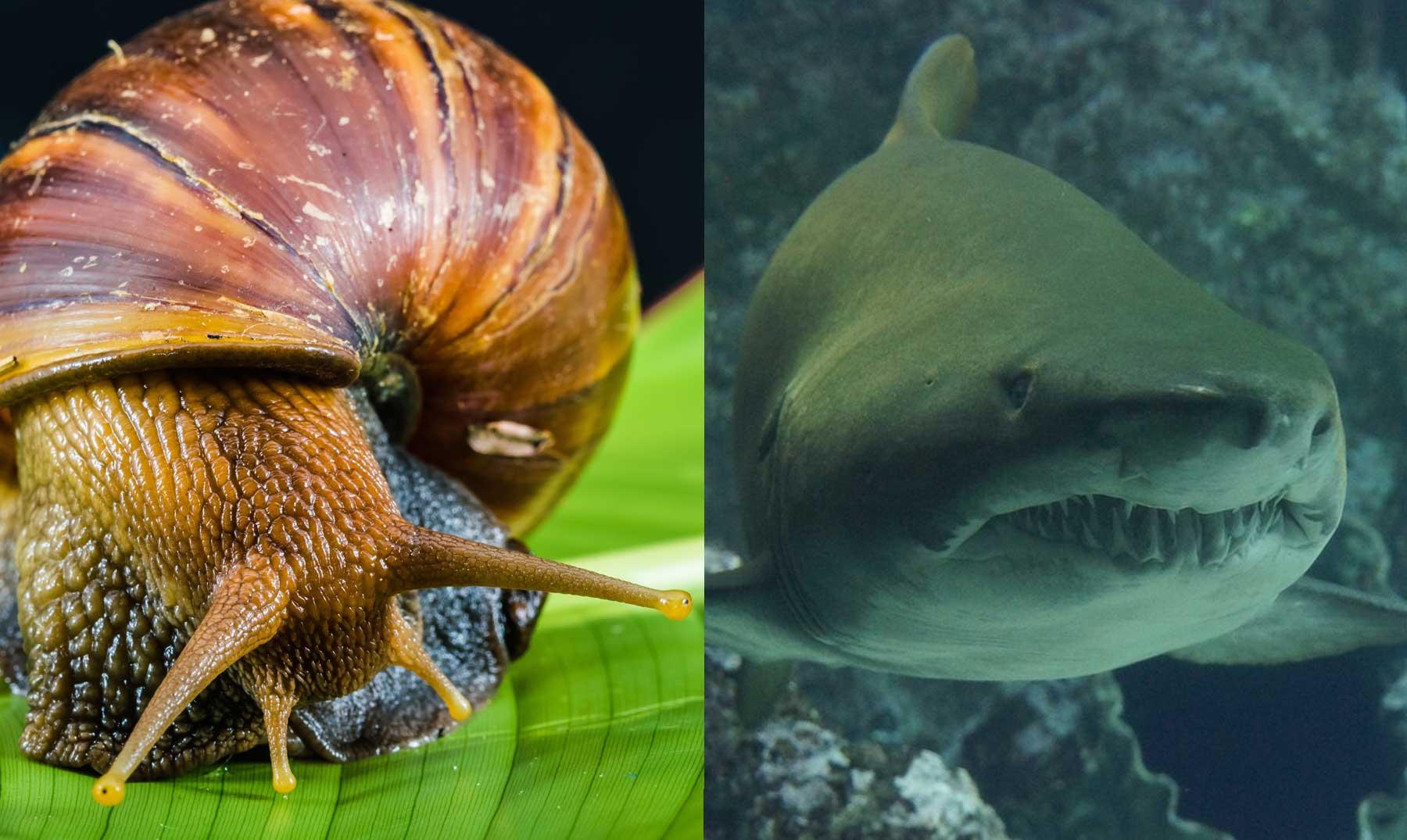 ¿Son más mortíferos los caracoles que los tiburones?