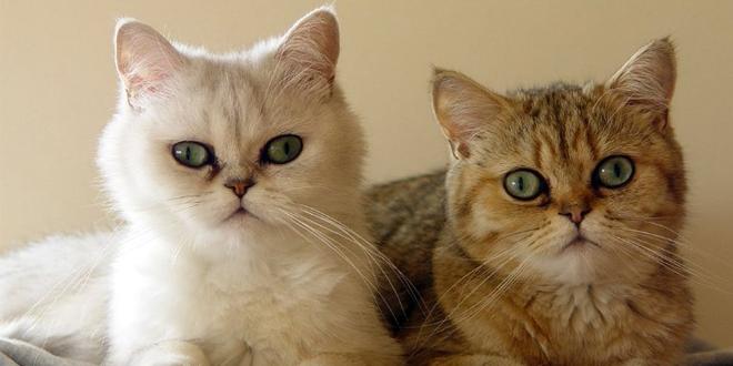 Gatos exóticos pelo corto
