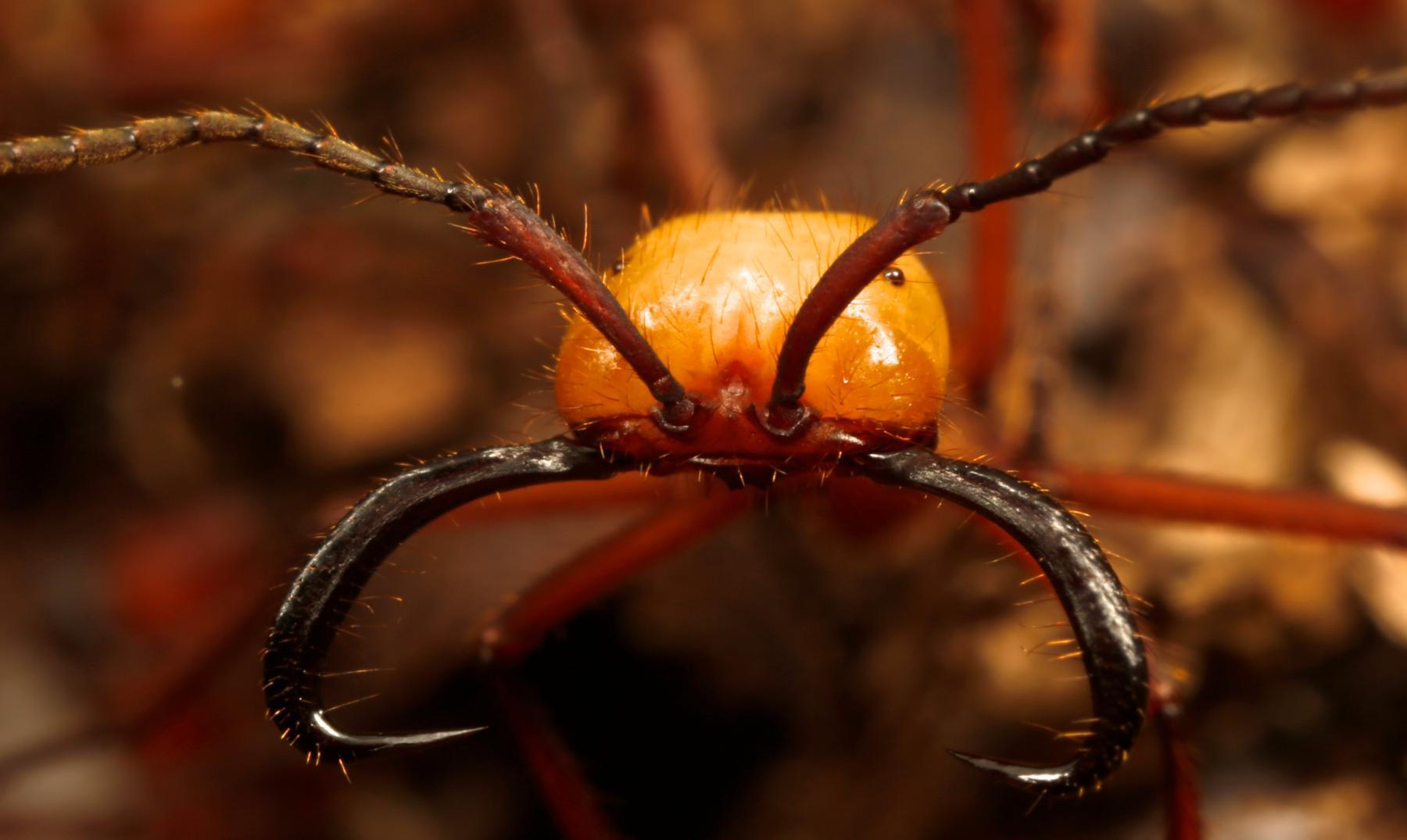 """La hormiga legionaria o """"marabunta"""", temibles cazadoras"""