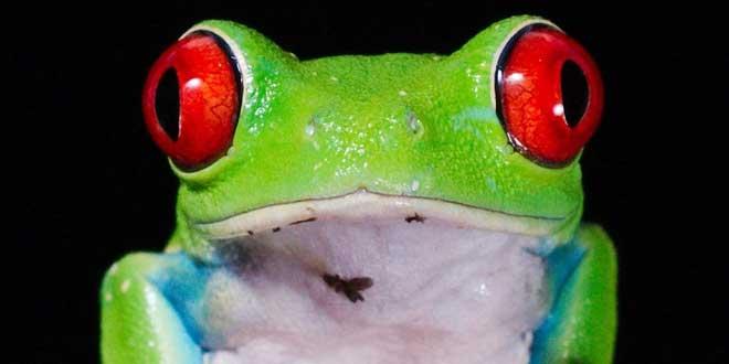 ojos rojos rana