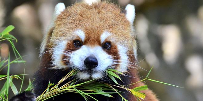 panda comiendo