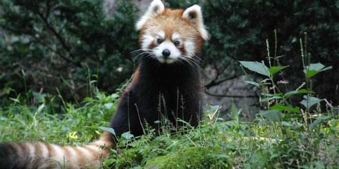 panda con cola