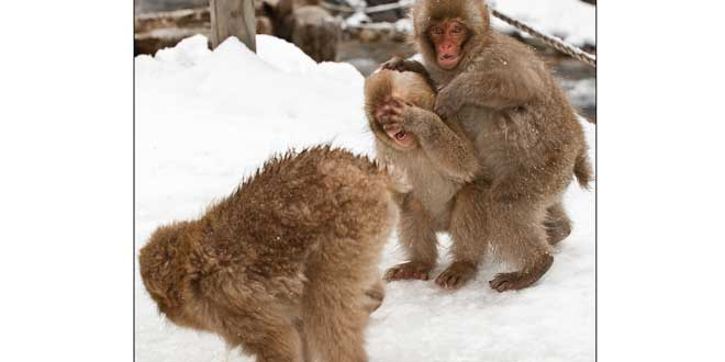 Mono soltando un gas