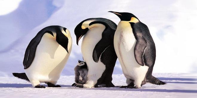pinguinosemperador_660x330