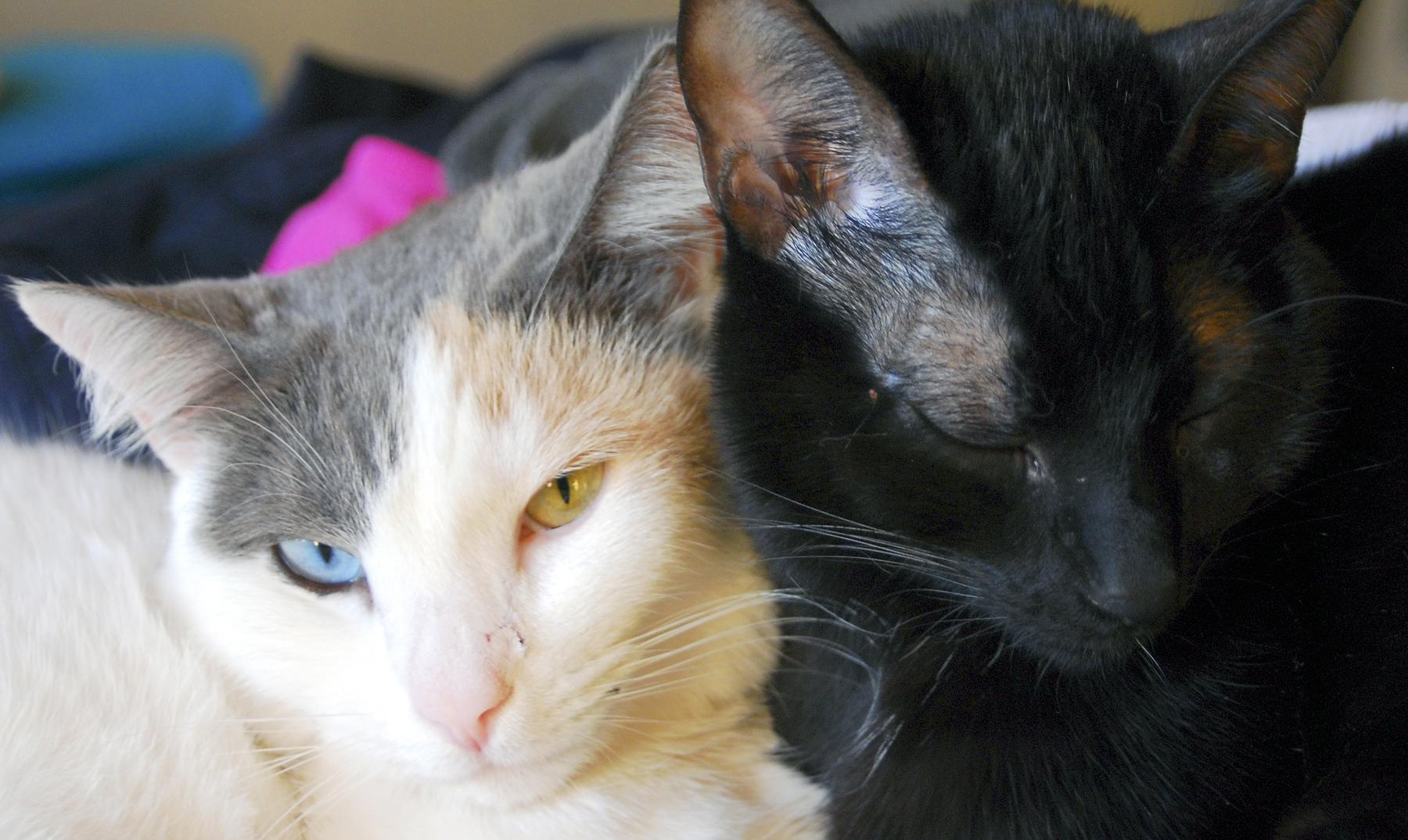 razas de gatos portada