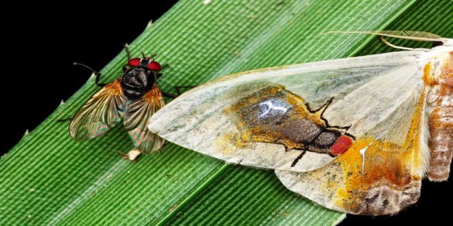 Macrocilix maia polilla con una escena en su cuerpo 3_660x330