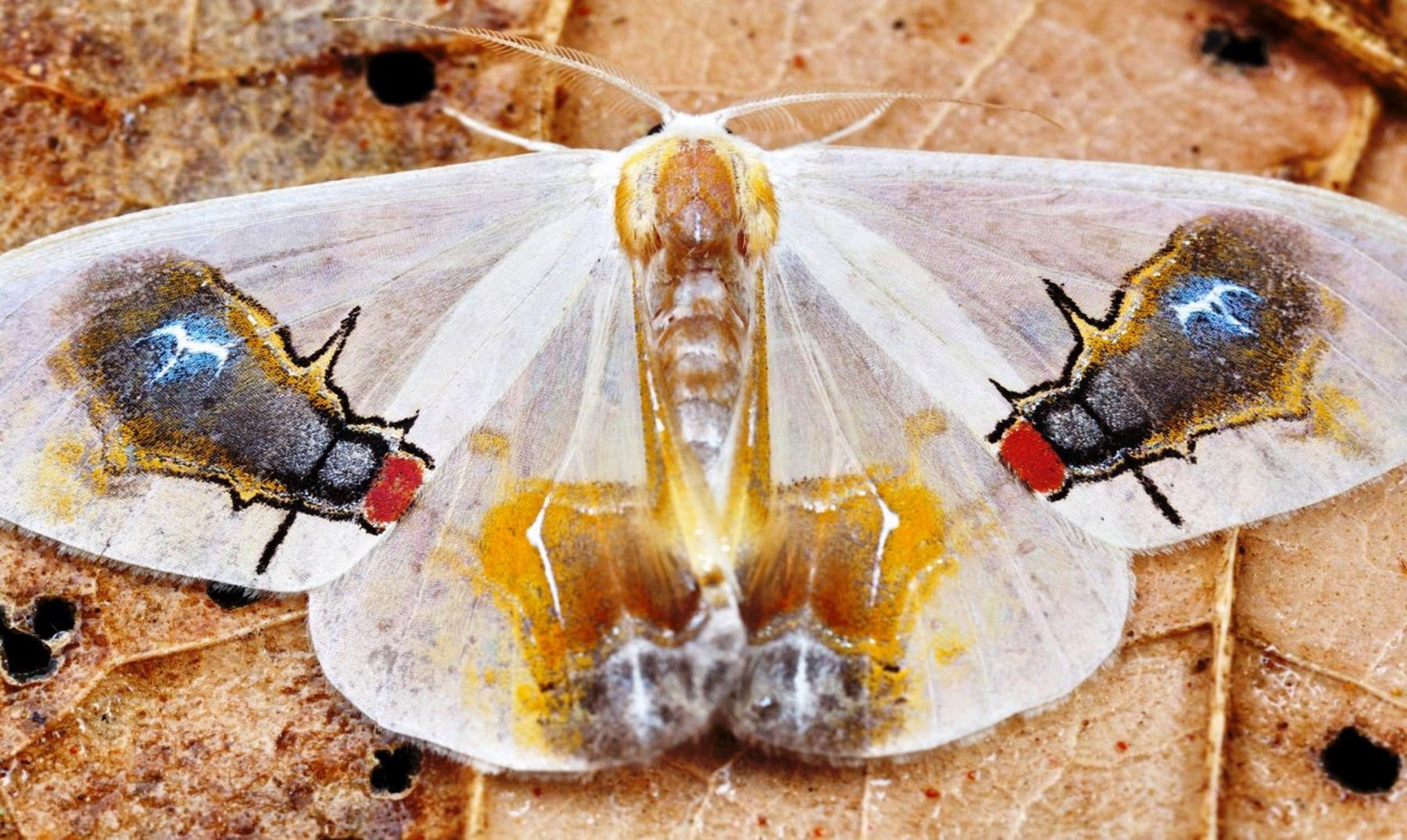Macrocilix maia polilla con una escena en su cuerpo