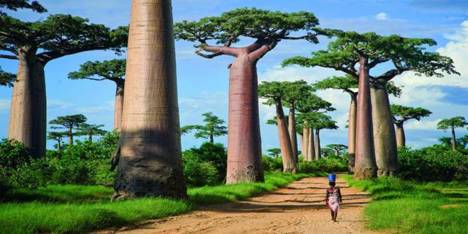 baobab (1)_660x330