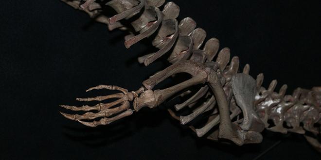 Esqueleto de un cocodrilo. Museo de Historia Natural de Florida