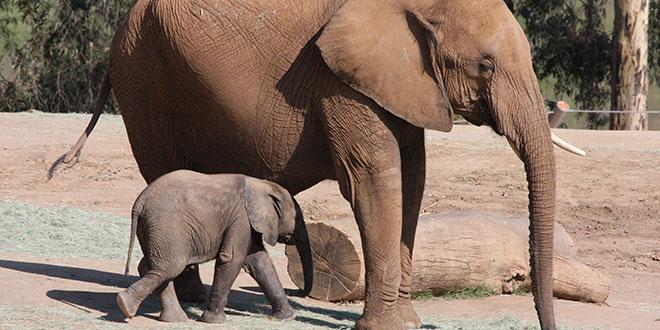 elefante bebé y mamá