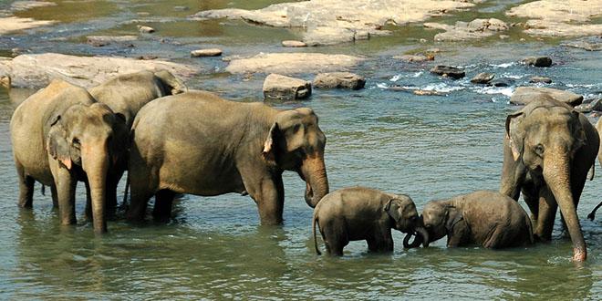 elefantes en río