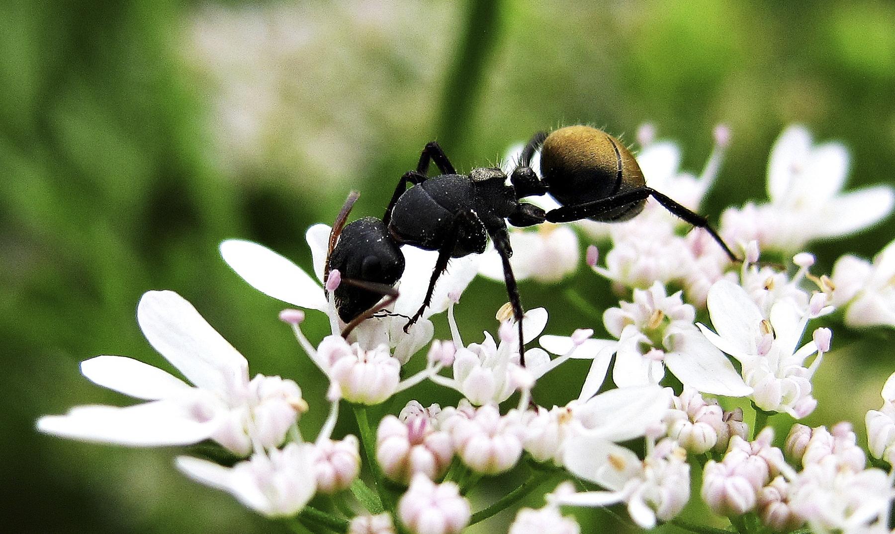 hormigas portada