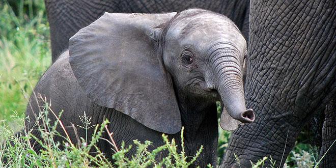 otro elefante bebé