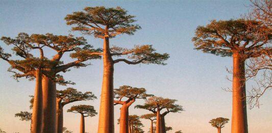 que son los baobabs