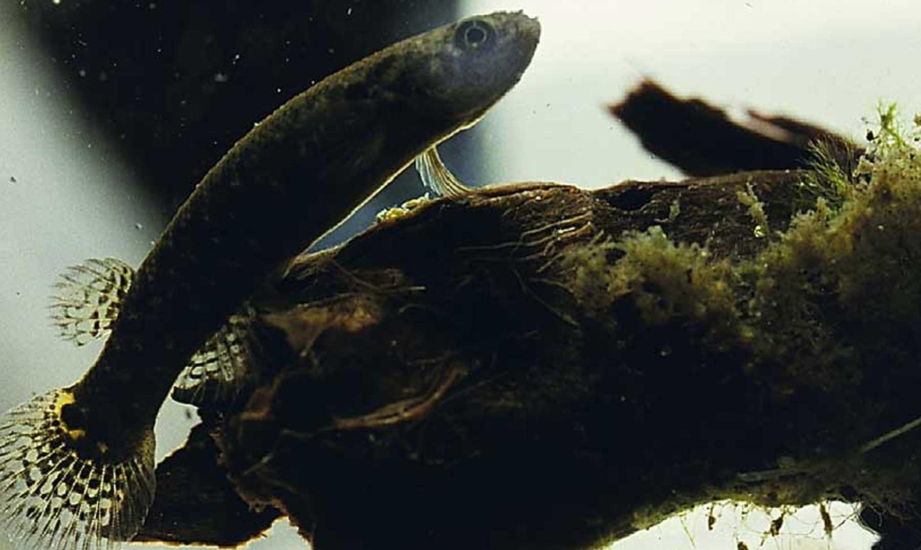 El pez que puede vivir fuera del agua