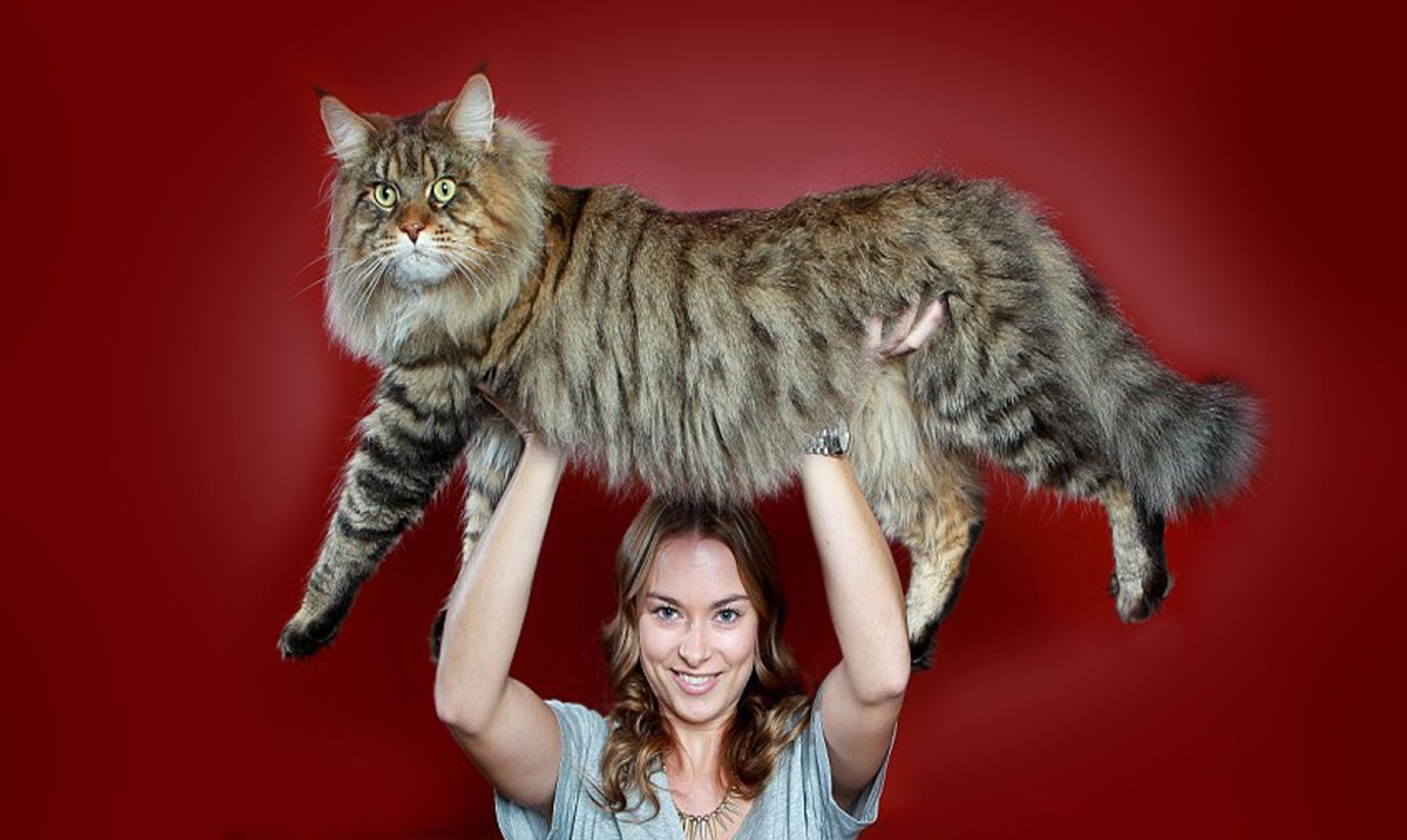 Maine Coon, el gato más espectacular