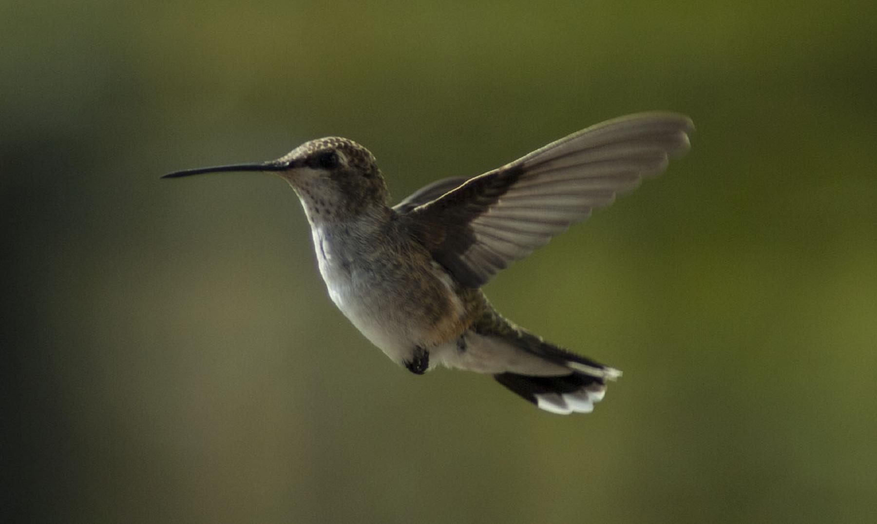 20 curiosidades sobre el colibrí