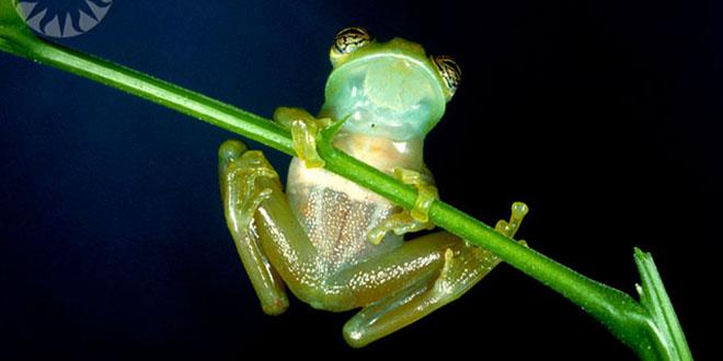 La rana de cristal suele estar en los árboles