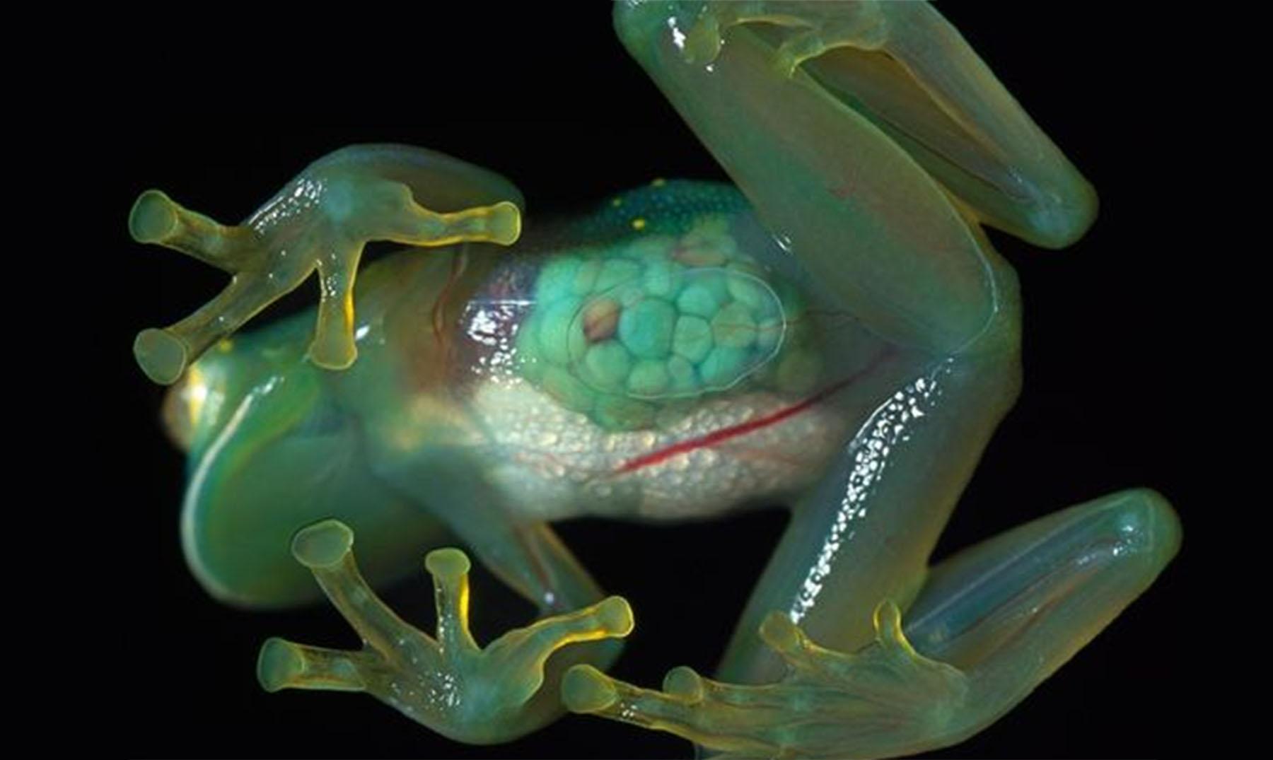 La rana de cristal: transparencia natural