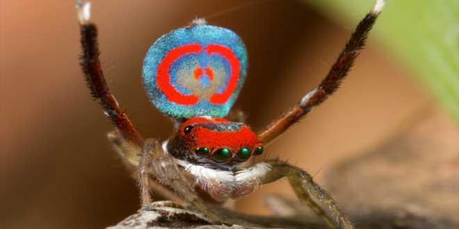 araña pavo real mostrando sus colores