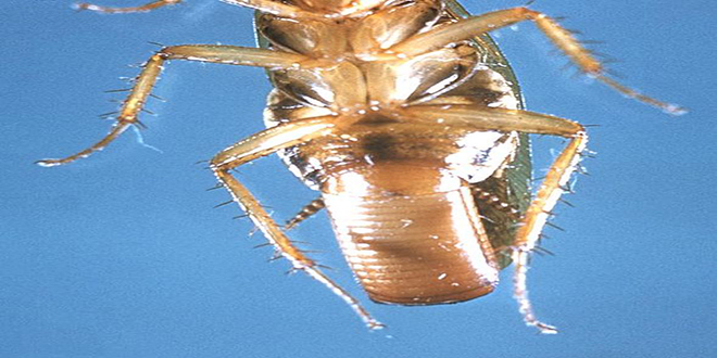 Blatella germanica. Se la conoce con varios nombres, chiripa, cucaracha alemana, rusa o polaca