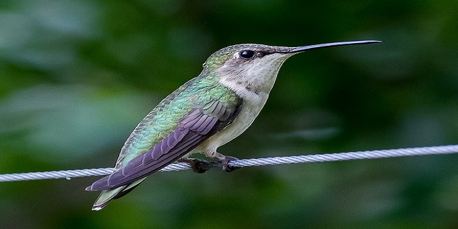 hummingbird-164632_640