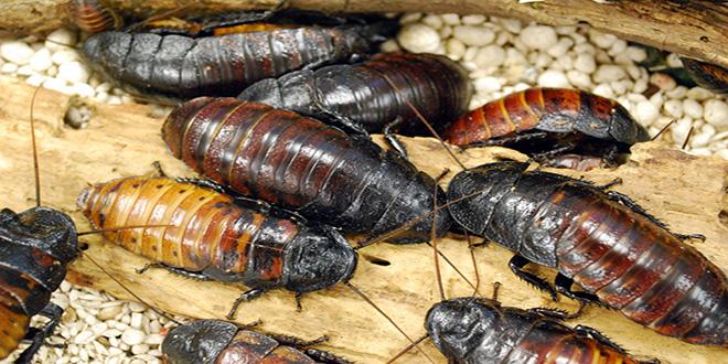 muchas cucarachas